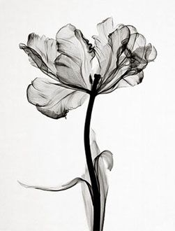steven meyers . x-ray image of a parrot tulip - so much detail for a tattoo/where could this go?