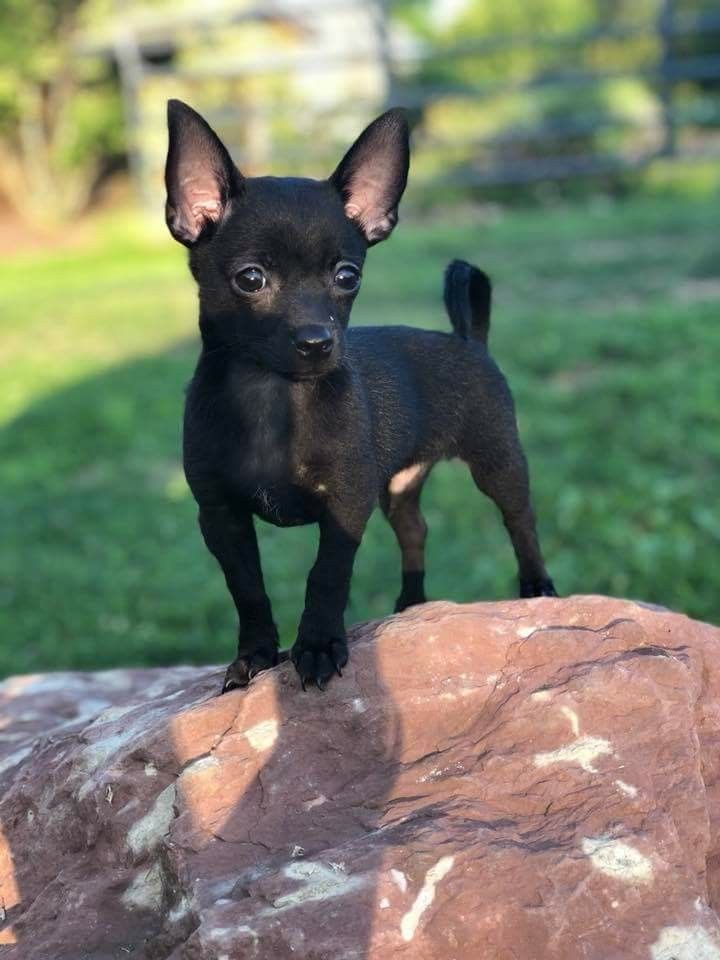 Cinny Let S Call Him Licorice Cute Chihuahua Chihuahua
