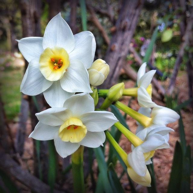 White Jonquil Flowers (Narcissus species) - 20120725 by MomentsForZen, via Flickr