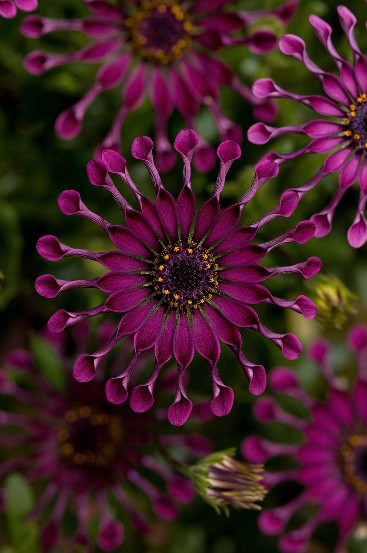 33 best images about Osteospermum on Pinterest