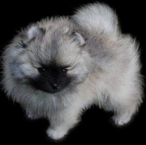Wolf Sable / Silver & Black Pomeranian, the cutest!