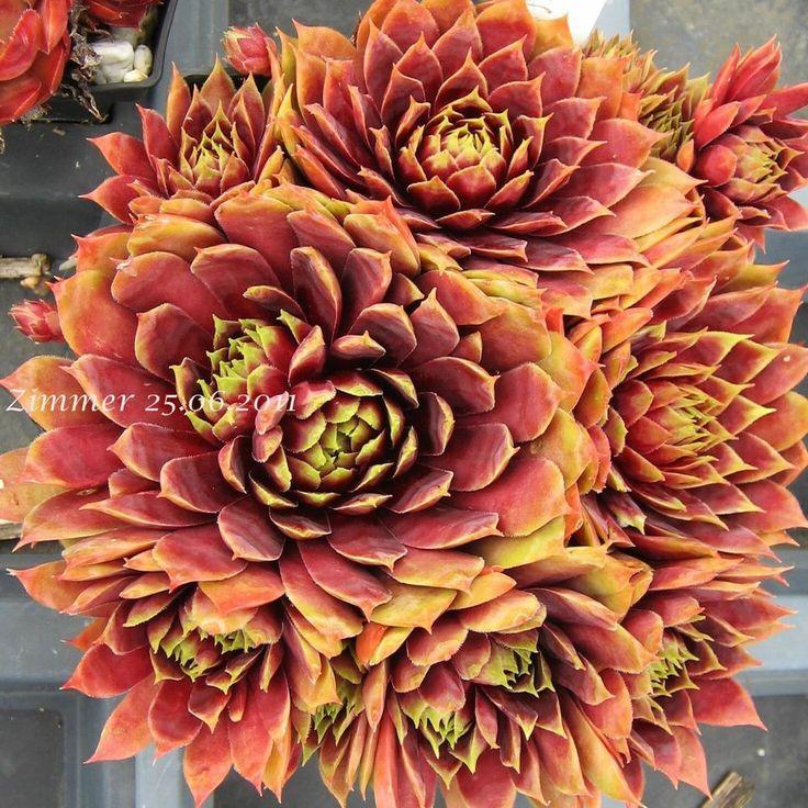 Les 1854 meilleures images du tableau sempervivum sur for Artichaut plante grasse