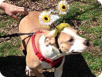 Kittery, ME - Boxer/American Bulldog Mix. Meet Honey *Sweet As Daisies*, a dog for adoption. http://www.adoptapet.com/pet/11151678-kittery-maine-boxer-mix