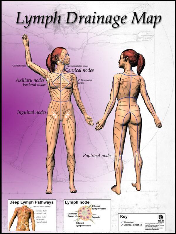 circulation lymphatique