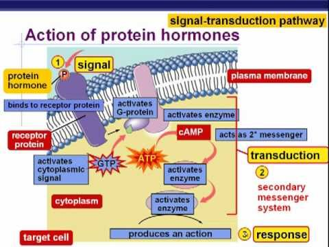 a p2 endocrinology Endocrinology introductory lectures what do you want to become  (p2) r2 r1 phospholipase c  _nnmain_kd12_introduction to endocrinologyppt [read-only].