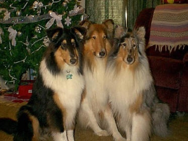 I want a collection of collies like this!