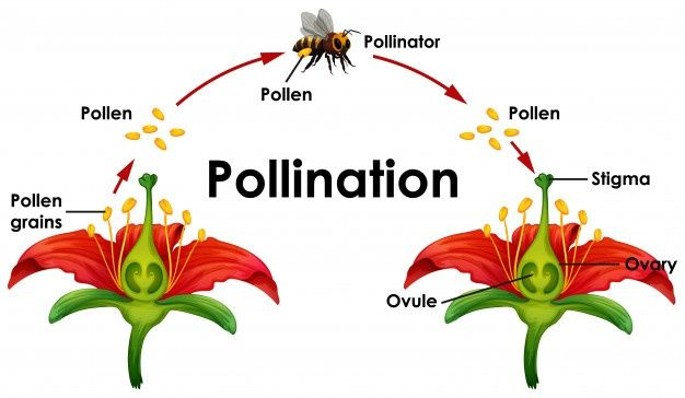 Download Diagram Showing Pollination With Flower And Bee For Free In 2020 Pollination White Lily Flower Bee