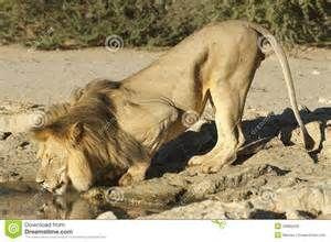 lion drinking - Bing images