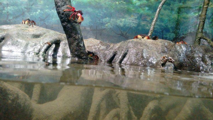 CRUSTACEA (Crustáceos) - Eucarida, Ordem Decapoda: Brachyura. / CRUSTACEA (Crustaceans) - Eucarida, Order Decapoda: Brachyura.