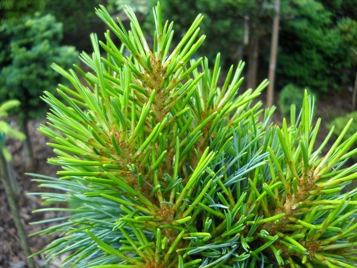 Pinus koraiensis Pancuj Mesterhazy