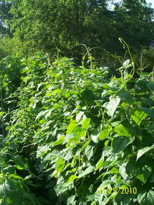 how to grow green beans in a bucket