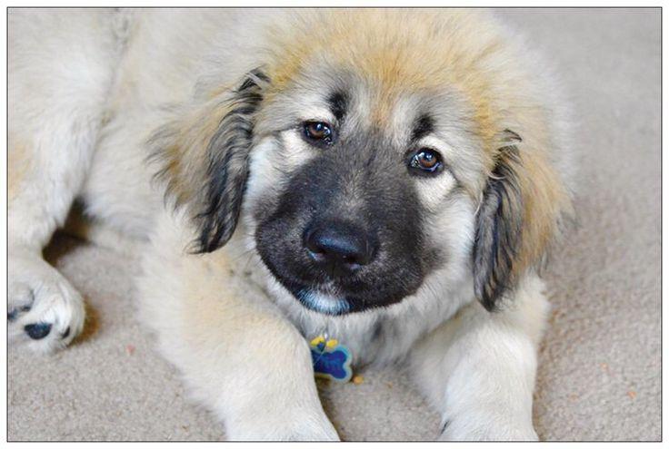 A personal favorite from my Etsy shop https://www.etsy.com/listing/265251271/little-caucasian-shepherd-puppy-postcard