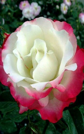 Mother Nature, beautiful White Heart Rose.