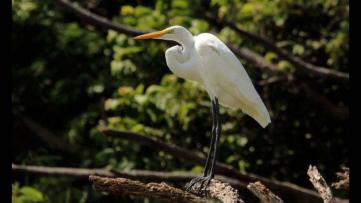 || White Great Egret at Moheshkhali Island || Great White Egret || Great White Heron || || White Great Egret at Moheshkhali Island || Great White Egret || Great White Heron || The great egret also known as the common egret large egret or (in the Old World) great white egret or great white heron is a large widely distributed egret with four subspecies found in Asia Africa the Americas and southern Europe. Distributed across most of the tropical and warmer temperate regions of the world. It…