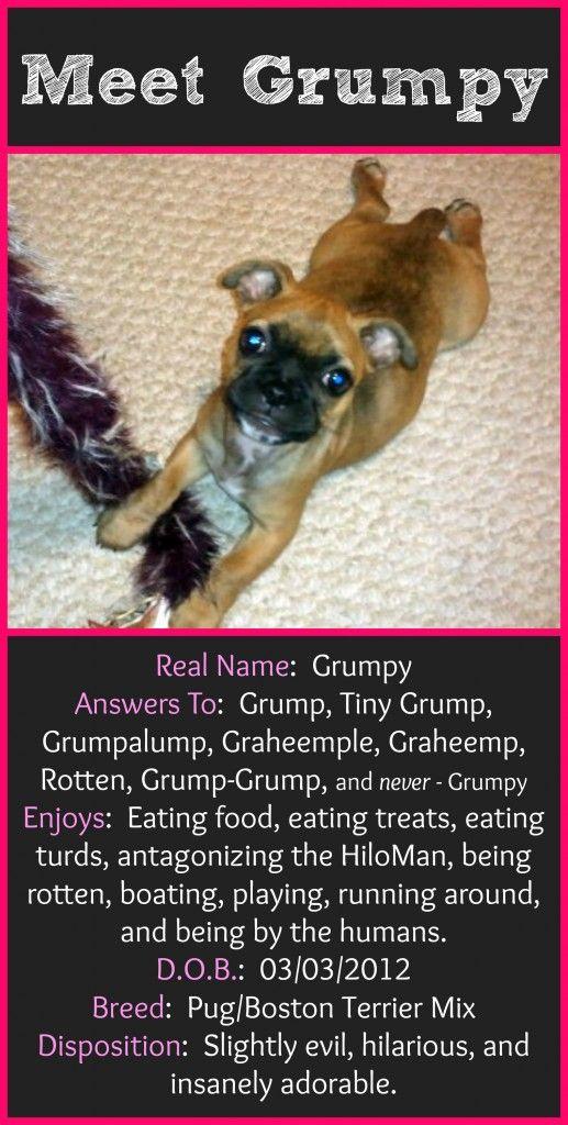 Pug Boston Terrier Mix - The Grump