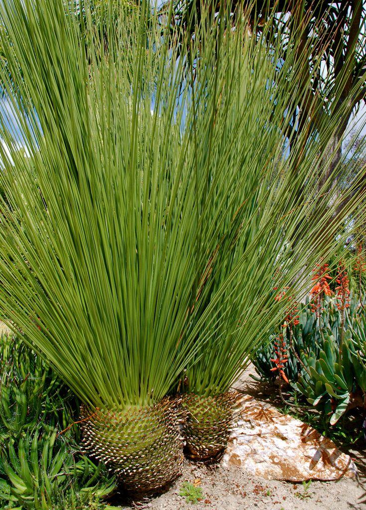 Dasylirion longifolium ~ 'Mexican Grass Tree'