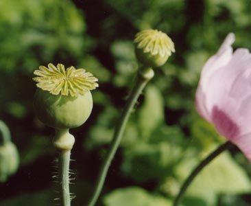 Mohnöl (Papaver Somniferum (Seed) Oil)