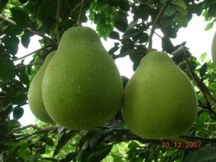 ส้มโอทับทิมสยาม - Pomelo (Citrus maxima) - https://commons.wikimedia.org/wiki/Category:Citrus_maxima
