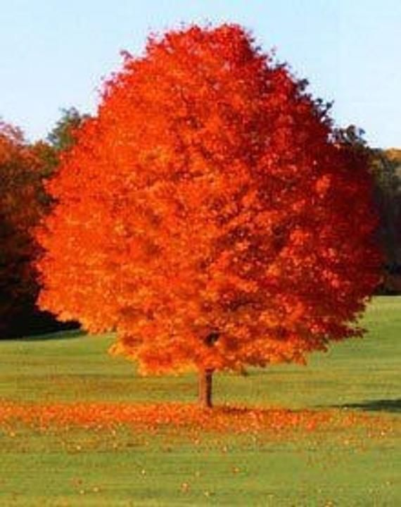 October Glory Maple Quart Pot Etsy In 2021 Red Maple Tree Fast Growing Trees Flowering Trees