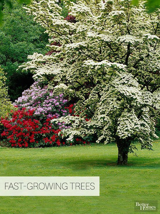 For a quick way to privacy, beauty, and shade, fast-growing trees are key! Plant in a strategic spot because these trees will grow tall, and you don't want them to harm any people, buildings, or plants so you should plan to cut them down before they get too big. Try growing bald cypress, box elder, cottonwoods, dawn redwood, or any of our other favorite fast-growing trees for big impact in your yard.