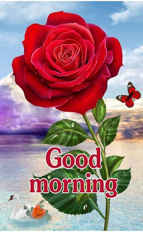 Big Red Rose Good Morning Image rose morning good morning