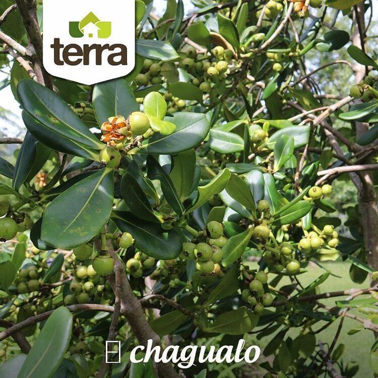 El #Chagualo uno de los árboles nativos más comunes de la zona, tiene un fuste recto y una copa pequeña, produce madera fina y crece rápidamente, es un recurso muy valioso para  arborizar y transformar potreros degradados en bosques a muy bajo costo.