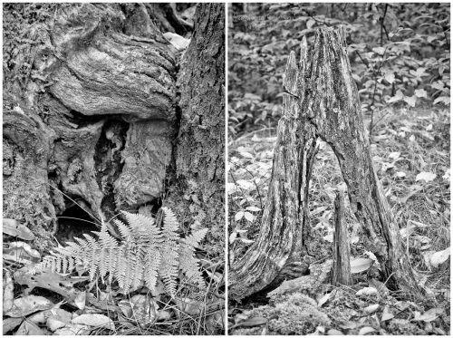 A black and white paring of tree roots, one with  a fern making itself at home, the other standing like a forgotten tombstone in the woods. Asheville, NC.  Camilla Calnan Photography. www.camiphoto.com