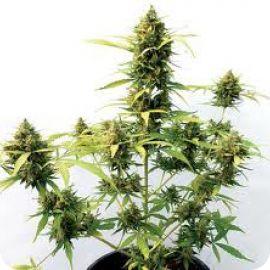 Critical Express - strain - Positronic Seeds | Cannapedia