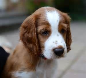 welsh springer spaniel puppies - Willow