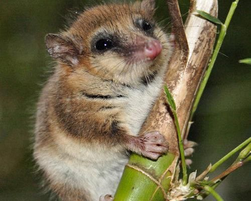 Monito del Monte - thought to have been extinct for 11 million years!