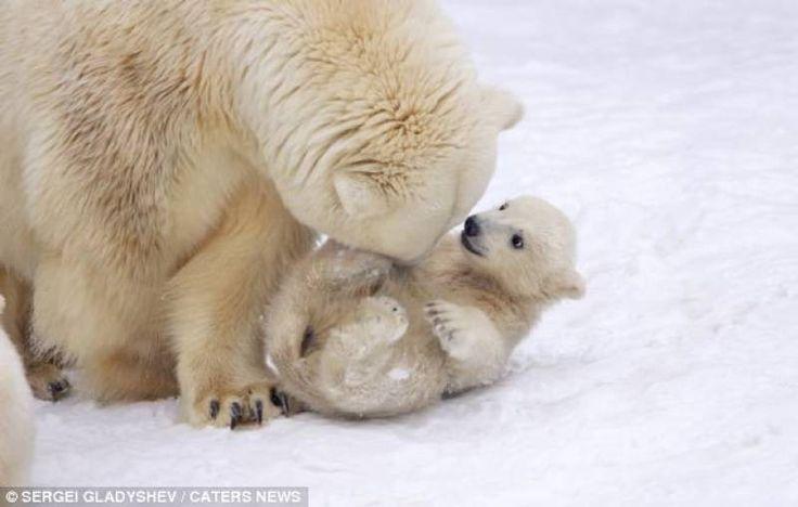 Imagini video foarte drăguțe surprinse într-o familie de urși polari. Cei doi pui de urs o mțngâie și se țin insistent de mama lor, nu care cumva să o piardă. Comentatorii asemuiesc videoul cu situațiile similare din viața mamei și a copiilor ei.