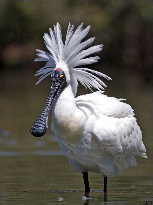 Royal Spoonbill - Australia, New Zealand, Indonesia, Papua New Guinea & Solomon Islands