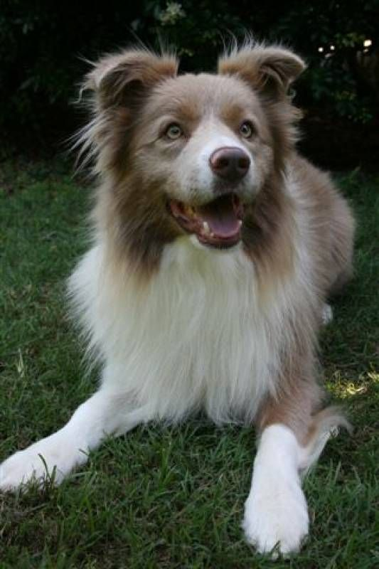 Beautiful lilac border collie