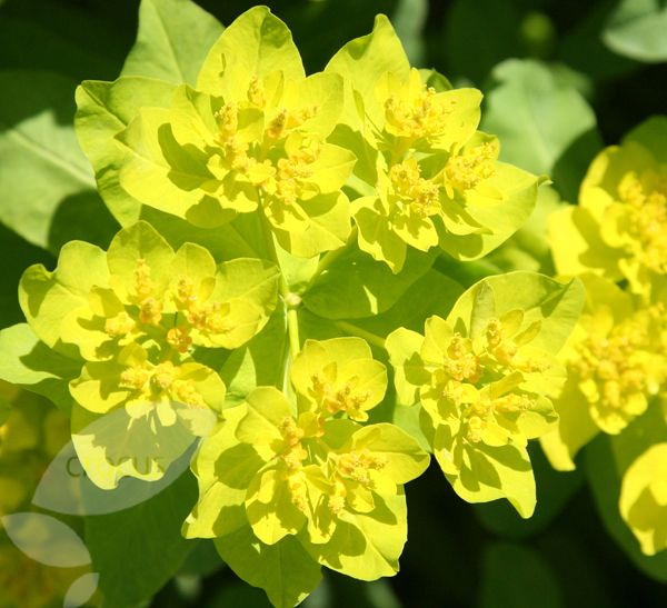 Euphorbia polychroma, spurge. Early flowering (April), lime green flowers, foliage turns bronze in autumn.