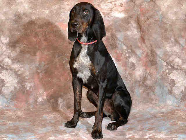 English Coonhound dog for Adoption in West Valley, UT. ADN-665907 on PuppyFinder.com Gender: Female. Age: Adult