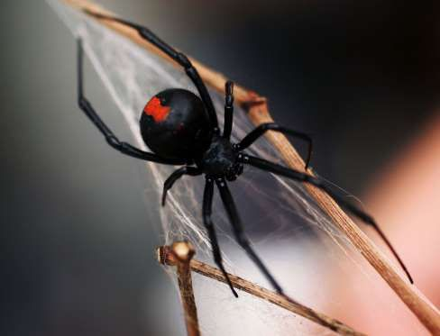 REDBACK SPIDER Generally found in Australia, these spiders carry lethal neurotoxins which can cause serious harm to a human body and may kill a person if there is no anti-venom available for treatment. Most bites occur during summers and are inflicted by the female redbacks as they are more toxic, larger in size and survive four times longer than a male redback.