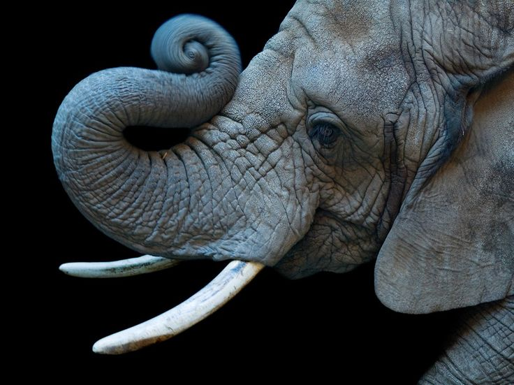 See a picture of an elephant photographed in studio at Colorado's Cheyenne Mountain Zoo, by Joel Sartore from National Geographic.