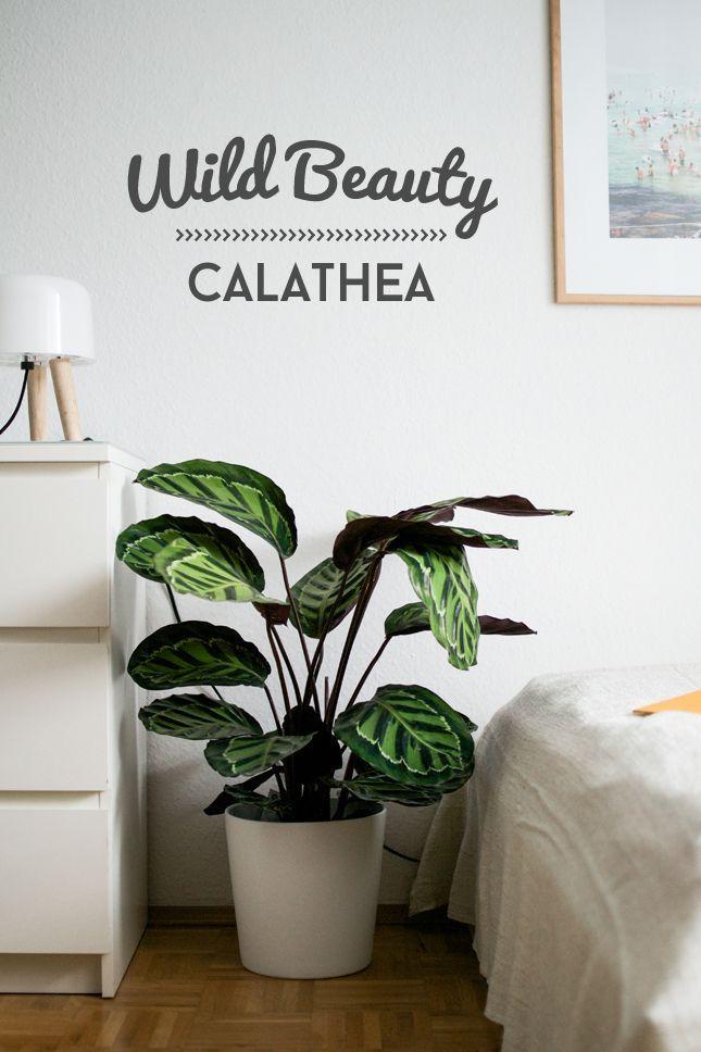Entspannter Schlaf mit der Calathea
