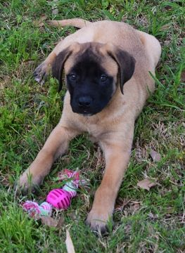 Litter of 5 Mastiff puppies for sale in FORNEY, TX. ADN-26433 on PuppyFinder.com Gender: Male. Age: 8 Weeks Old