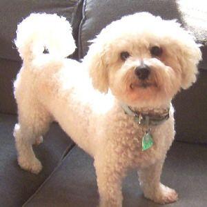 bichon frise puppy cut