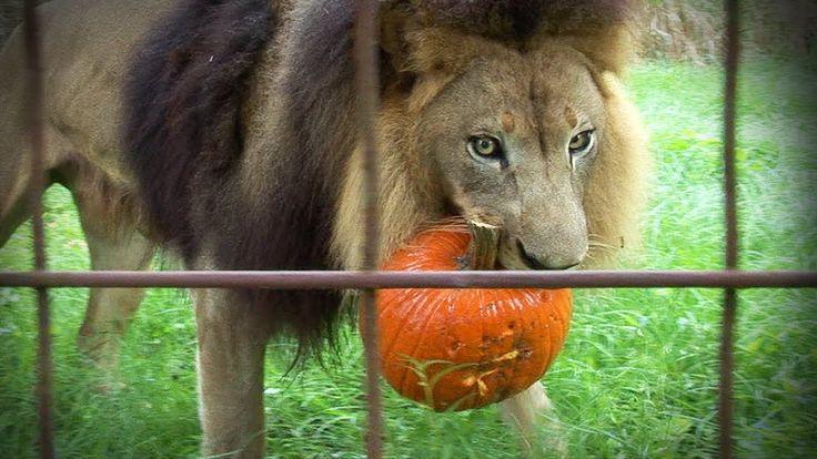 GROWLOWEEN! Lions Tigers & Bats!