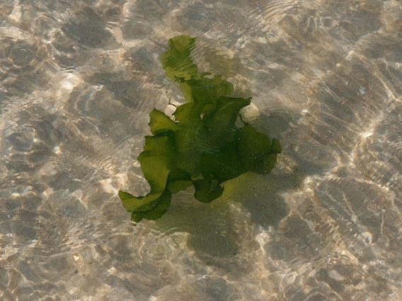 Ik ben verslaafd, aan de zee. Lopen langs de vloedlijn. Luisteren, zien en vooral voelen. Het liefst mijn blote voeten laten omspoelen door de aanrollende golven. Kijken wat de zee achterlaat op het strand. Fascinerend is de speling van het zonlicht in het achtergebleven zeewater bij eb. En daarin dan het zeewier zich ontplooiend als een groene bloem meedeinend in het water.