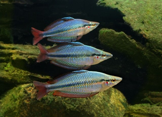 723 best gotta have a rainbow images on pinterest for Freshwater rainbow fish