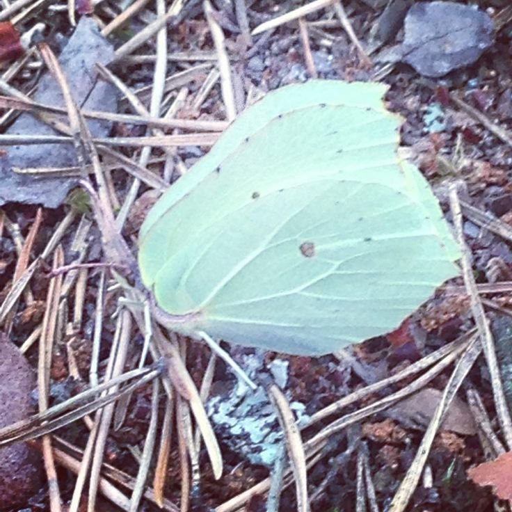 Butterfly @ Lankajärvi