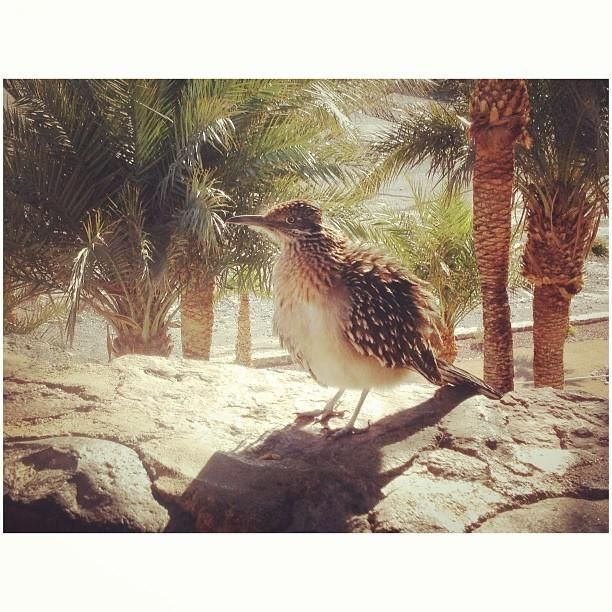 Twitter / NatlParksPhotos: Poofy roadrunner hanging out ...