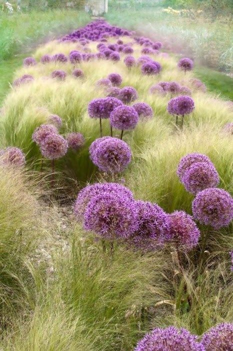 Alliums and Stipa tennuisima- Great writing prompt: You have landed on a new planet. Describe what you see.Onions, Colors, Plants, Side Yards, Gardens Landscapes, Flower Fields, Feathers, Ornaments Grass, Purple Flower
