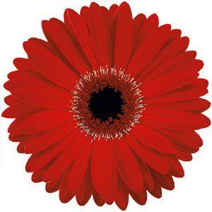Dark Red Gerbera