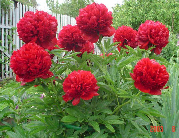 Огромной популярностью среди цветоводов пионы пользуются не только из-за своей красоты, но и потому,