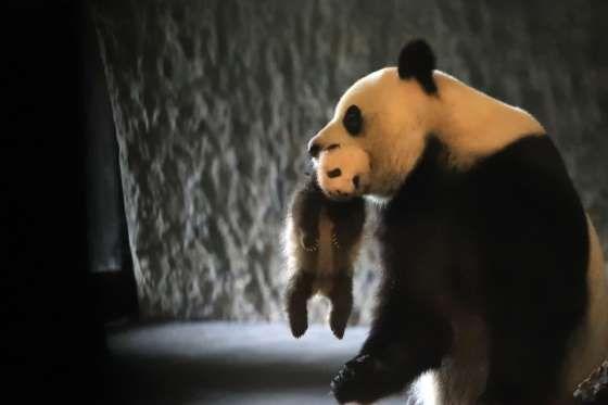 Mother panda Hao Hao carries baby panda at Pairi Daiza Park in Belgium.   via ZUMA Press/REX/Shutterstock/Rex Images