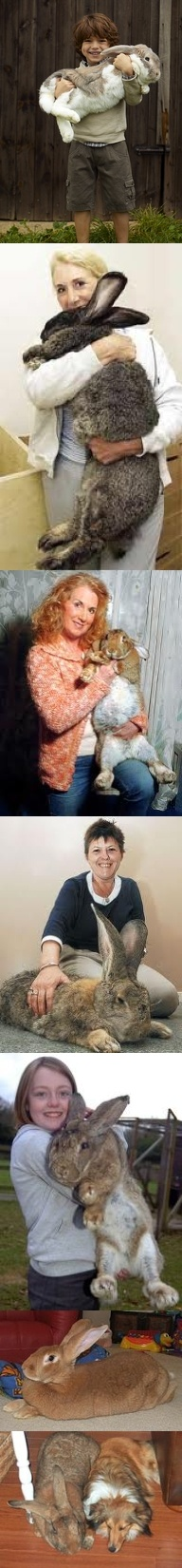 """REAL - The top image is going around Pinterest. I found it on a Catalog Website as an ad. It could easily be real. The next two are owned by Annette and are Roberto and Amy respectively. Both have held the largest rabbit in the world title. The next image shows Benny with his owner Sharon. The next two images are just more examples of verified large rabbits. One of the large breeds is the """"Flemish Giant"""". If you've seen """"Herman"""" he's real too. I included a link to Wikipedia."""